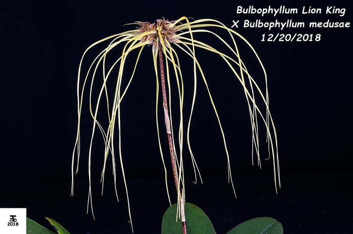 Name:  Bulbophyllum Lion King X Bulbo medusae1 12202018.jpg