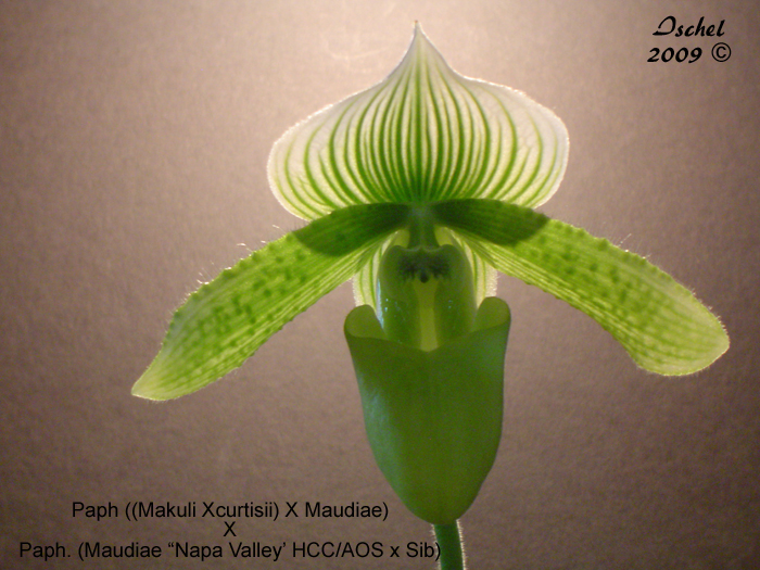 Name:  Paph1_edited-2.jpg