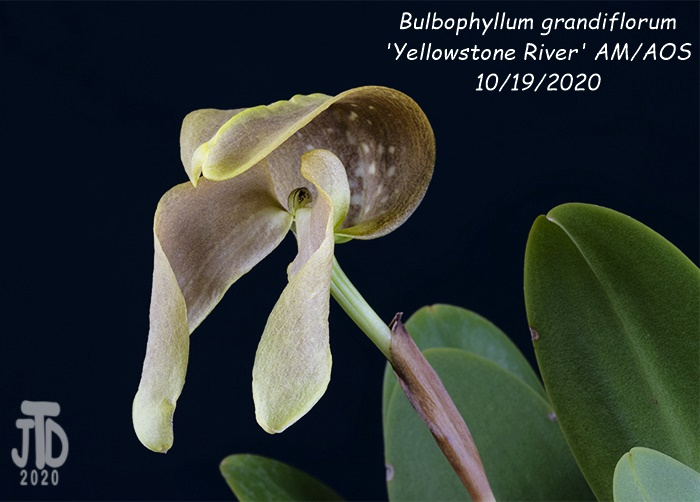 Name:  Bulbophyllum grandiflorum 'Yellowstone River' AMAOS1 10192020.jpg