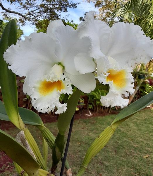 Name:  Cattleya_Earl_'Imperalis'2_6x6.jpg Views: 44 Size:  139.3 KB