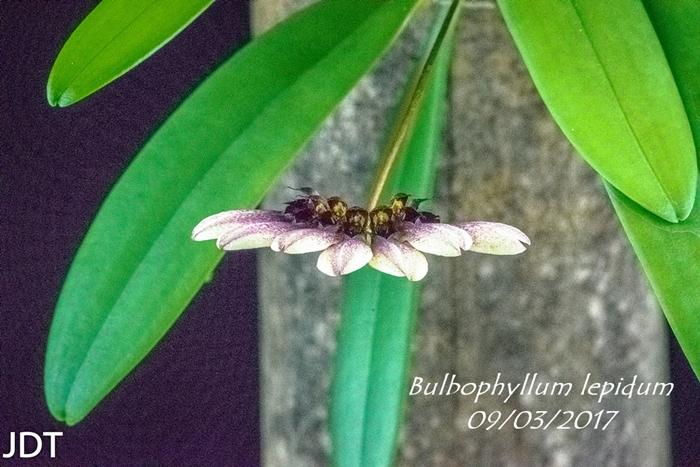 Name:  Bulbophyllum lepidum2 200mm0917.jpg Views: 157 Size:  302.9 KB