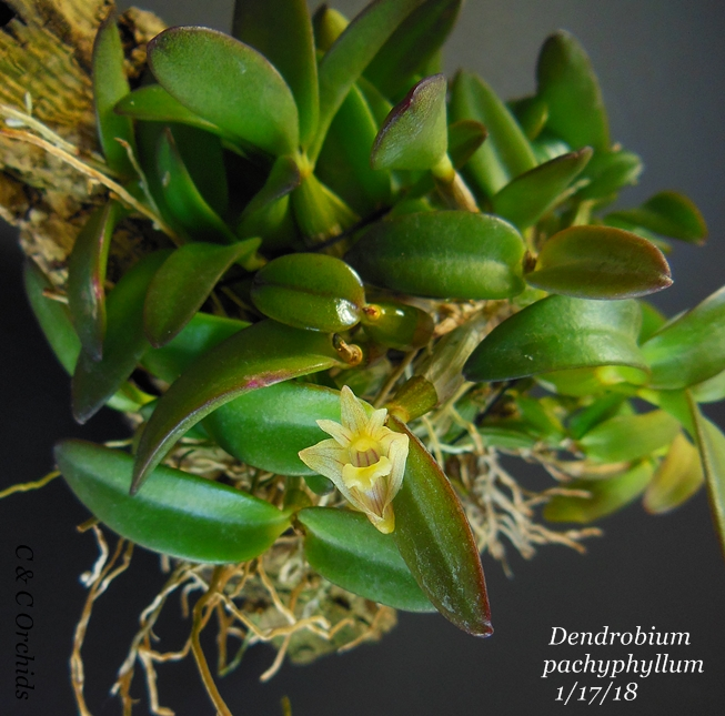 Name:  Dendrobium pachyphyllum3 1-18.JPG Views: 147 Size:  359.0 KB