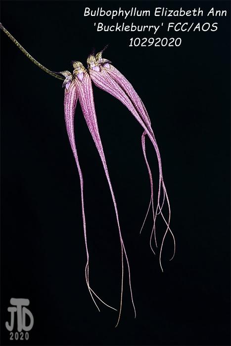 Name:  Bulbophyllum Elizabeth Ann 'Buckleburry'2 10292020.jpg Views: 58 Size:  79.1 KB