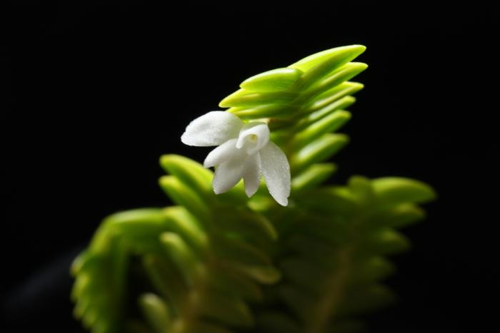 Name:  angraecum distichum2.jpg Views: 64 Size:  178.1 KB