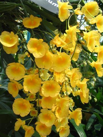 Name:  Dendrobium Agrregatum2 (Small).jpg Views: 3653 Size:  45.9 KB