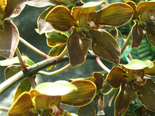 Name:  Grammatophyllum Elegans2 (Small).jpg Views: 3428 Size:  61.0 KB