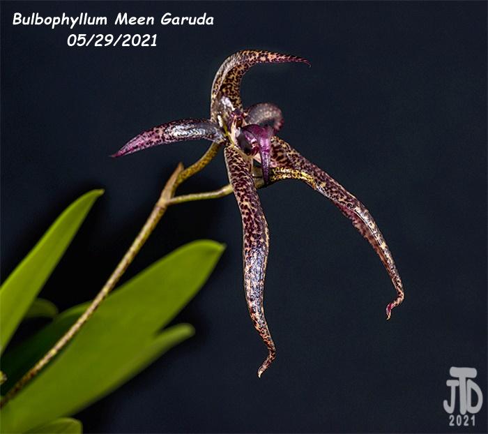 Name:  Bulbophyllum Meen Garuda4 05292021.jpg Views: 38 Size:  183.6 KB