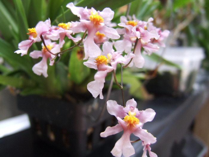 Name:  Oncidium ornithorhycum 001.JPG