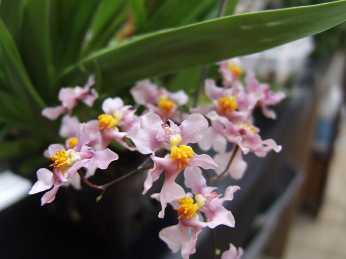 Name:  Oncidium ornithorhycum 005.JPG