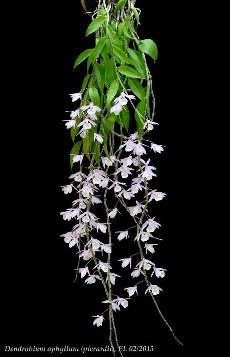 Name:  Dendro aphyllum 02_2015 1.JPG Views: 971 Size:  126.3 KB