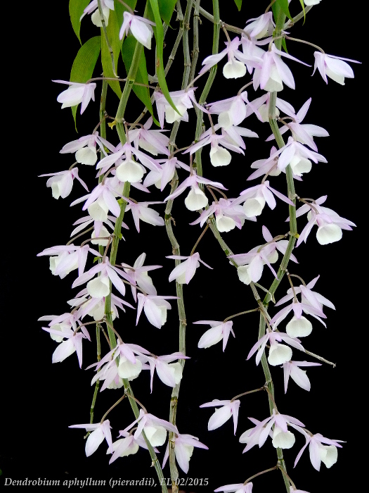 Name:  Dendro aphyllum 02_2015 2.JPG Views: 854 Size:  219.6 KB