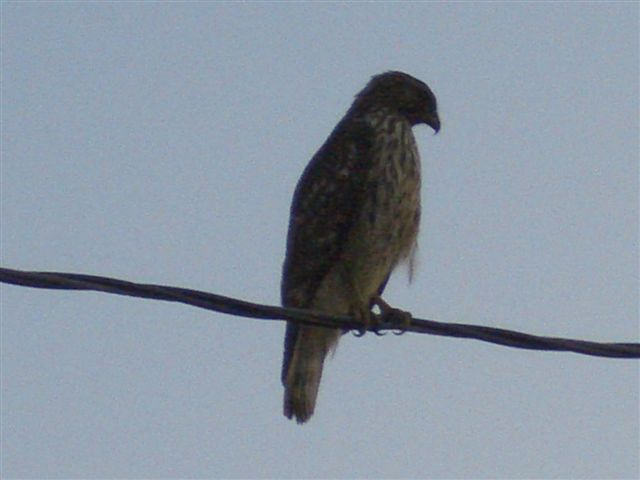 Name:  Eaglet 013.jpg Views: 803 Size:  34.8 KB