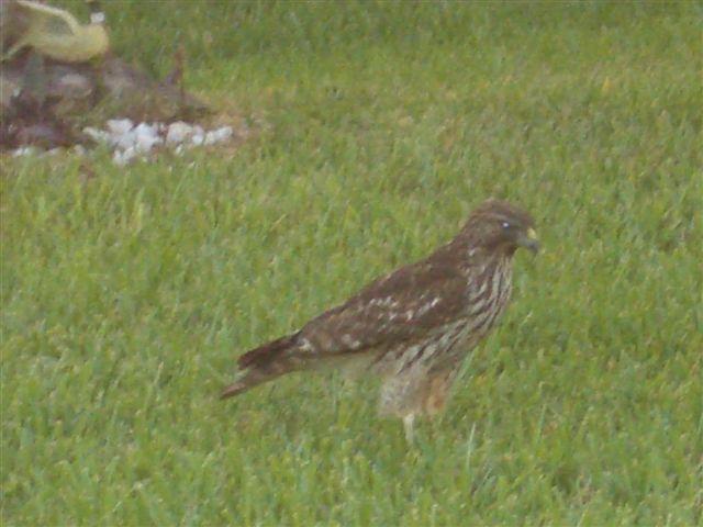 Name:  Eaglet 017.jpg Views: 790 Size:  52.6 KB