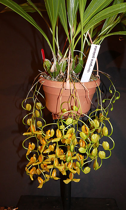 Name:  Gongora-galeata-plant-8-2020.jpg
