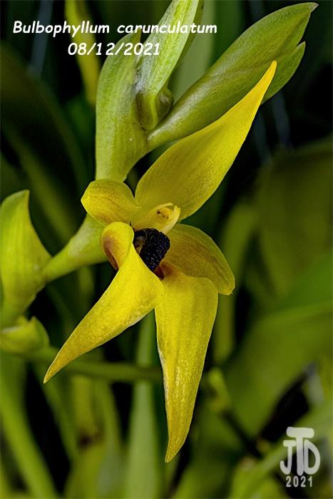 Name:  Bulbophyllum carunculatum1 08122021.jpg Views: 36 Size:  121.3 KB