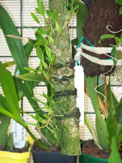 Name:  Encyclia polybulbon.JPG Views: 4297 Size:  135.5 KB