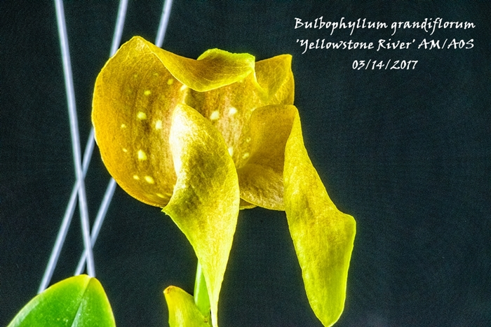 Name:  Bulbophyllum grandiflorum 'Yellowstone River' AM_AOS 195mm.jpg Views: 344 Size:  305.2 KB