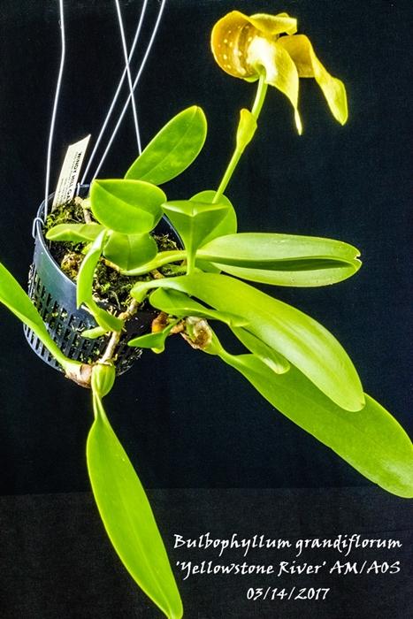 Name:  Bulbophyllum grandiflorum 'Yellowstone River' AM_AOS 92mm.jpg Views: 472 Size:  295.5 KB