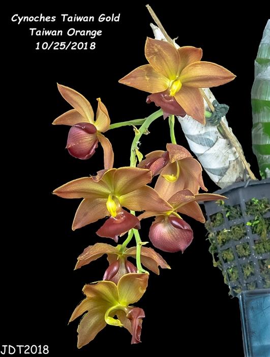 Name:  Cynoches Taiwan Gold Taiwan Orange1 10-25-2018.jpg Views: 130 Size:  224.2 KB