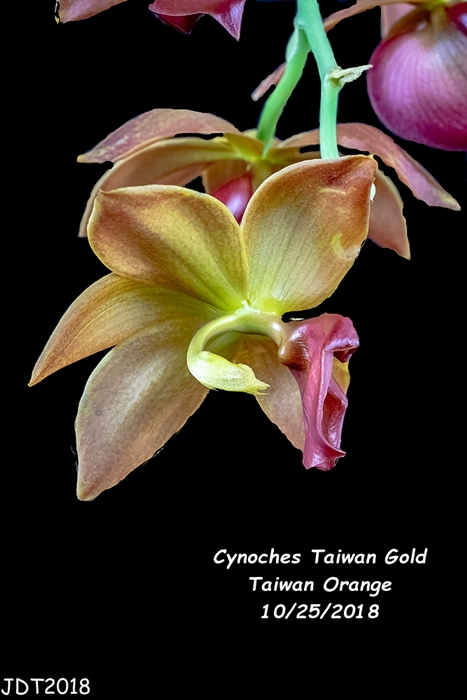 Name:  Cynoches Taiwan Gold Taiwan Orange2 10-25-2018.jpg Views: 122 Size:  159.6 KB