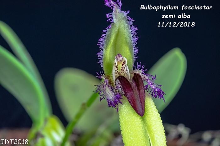 Name:  Bulbophyllum fascinator semi alba3 11112018.jpg Views: 201 Size:  235.5 KB
