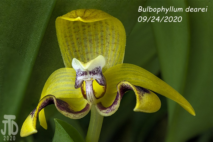 Name:  Bulbophyllum dearei1 09242020.jpg Views: 33 Size:  121.8 KB
