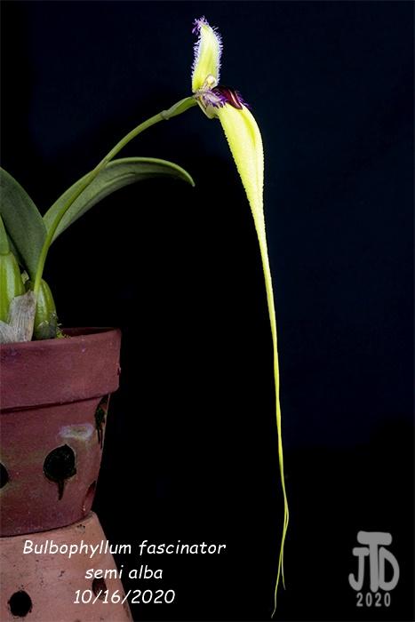 Name:  Bulbophyllum fascinator semi alba4 10162020.jpg Views: 36 Size:  70.4 KB