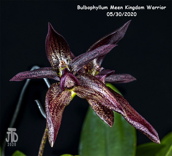 Name:  Bulbophyllum Meen Kingdom Warrior2 05302020.jpg