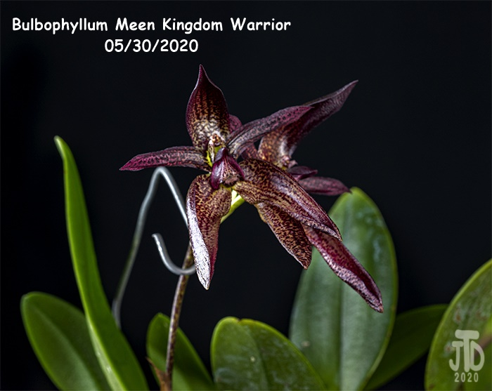 Name:  Bulbophyllum Meen Kingdom Warrior5 05302020.jpg
