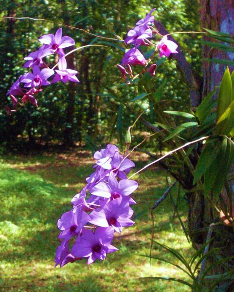 Name:  481px-Cooktown_orchids.jpg Views: 9334 Size:  105.8 KB