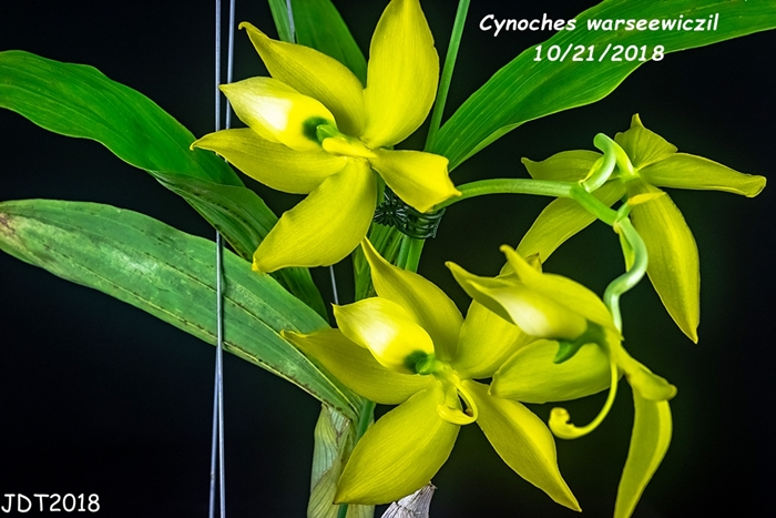Name:  Cynoches warseewiczil4 10-21-2018.jpg Views: 125 Size:  265.3 KB