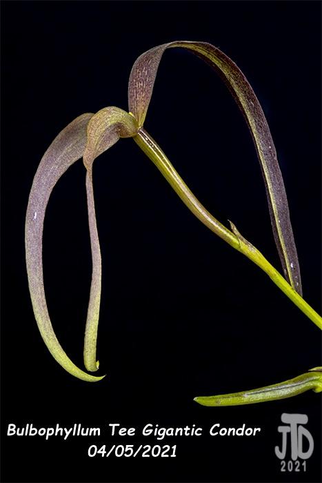 Name:  Bulbophyllum Tee Gigantic Condor5 04052021.jpg Views: 48 Size:  90.8 KB