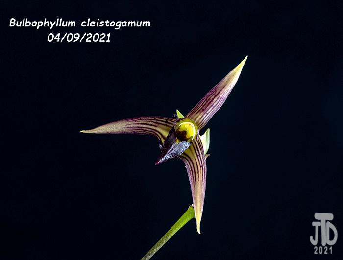 Name:  Bulbophyllum cleistogamum5 04092021.jpg Views: 46 Size:  84.2 KB