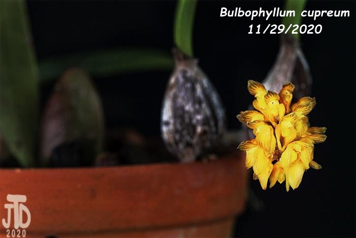 Name:  Bulbophyllum cupreum3 11292020.jpg Views: 79 Size:  74.2 KB