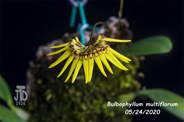 Name:  Bulbophyllum multiflorum4 05242020.jpg Views: 30 Size:  102.4 KB