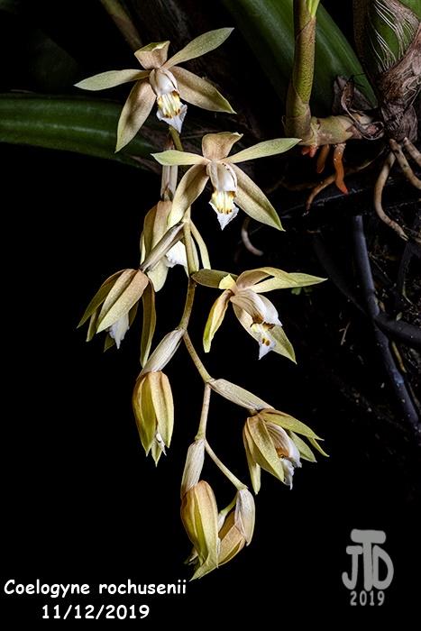 Name:  Coelogyne rochusenii5 1122019.jpg Views: 90 Size:  117.7 KB