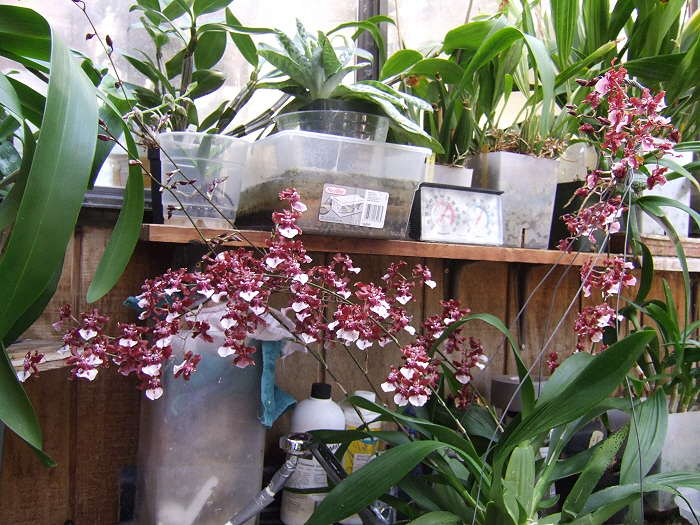 Name:  Oncidiums On The March 014.JPG Views: 1010 Size:  397.5 KB