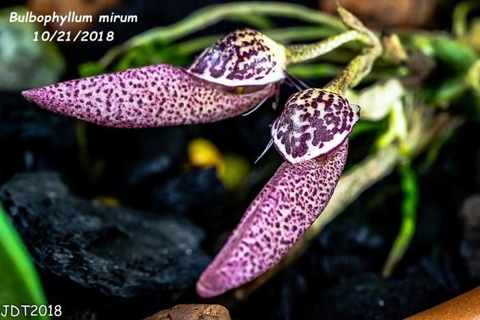 Name:  Bulbophyllum mirum1 10-21-2018.jpg Views: 179 Size:  249.5 KB