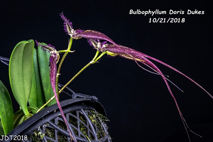 Name:  Bulbophyllum Doris Dukes5 10-21-2018.jpg
