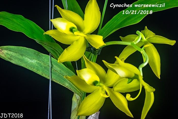 Name:  Cynoches warseewiczil4 10-21-2018.jpg Views: 126 Size:  265.3 KB