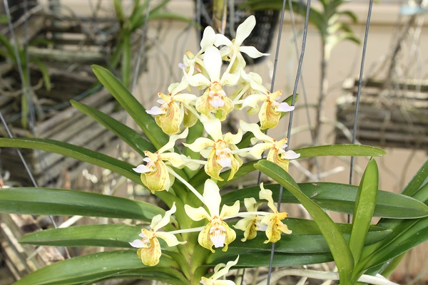 Name:  vanda_lamellata_remediosae_6x6.jpg
