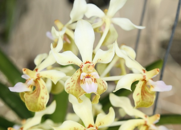 Name:  vanda_lamellata_remediosae2_crop6x6.jpg