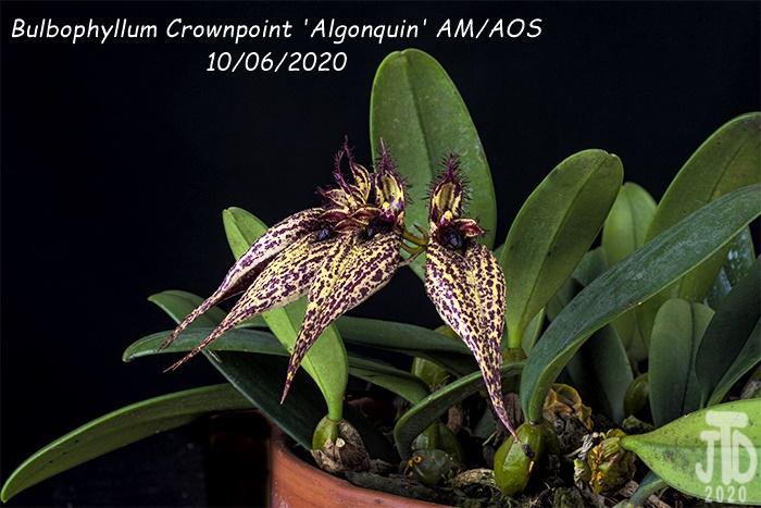 Name:  Bulbophyllum Crownpoint 'Algonquin' AM-AOS4 10062020.jpg Views: 39 Size:  170.6 KB