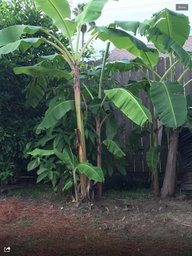 Name:  rsz_banana_3.jpg Views: 133 Size:  28.1 KB