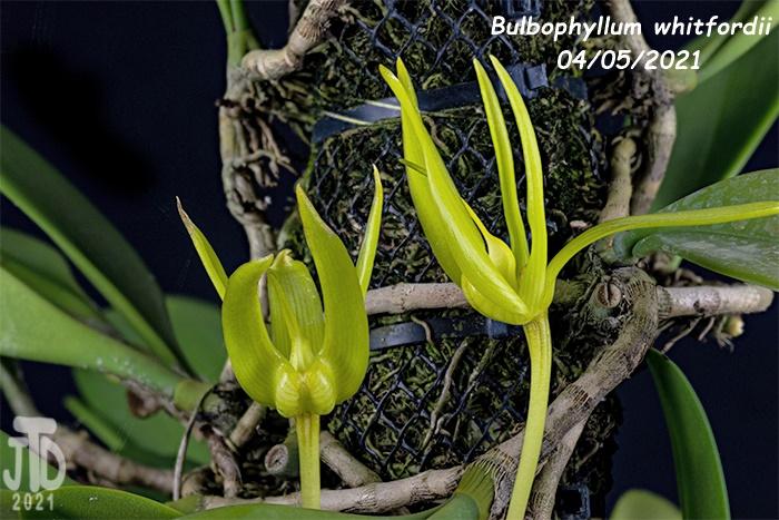 Name:  Bulbophyllum whitfordii2 04052021.jpg Views: 56 Size:  166.6 KB
