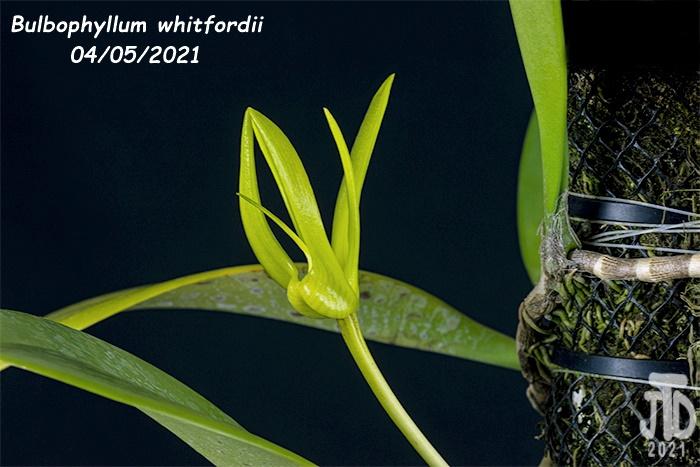 Name:  Bulbophyllum whitfordii3 04052021.jpg Views: 55 Size:  129.8 KB