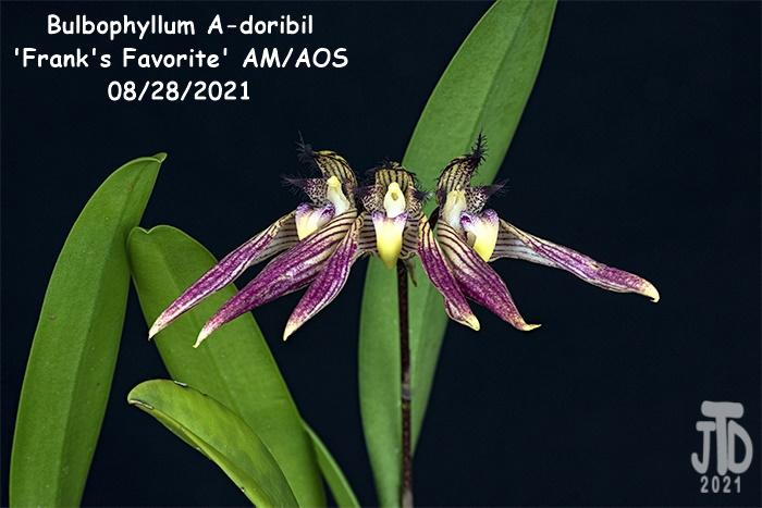 Name:  Bulbophyllum A-doribil 'Frank's Favorite' AMAOS3 08282021.jpg Views: 26 Size:  129.8 KB
