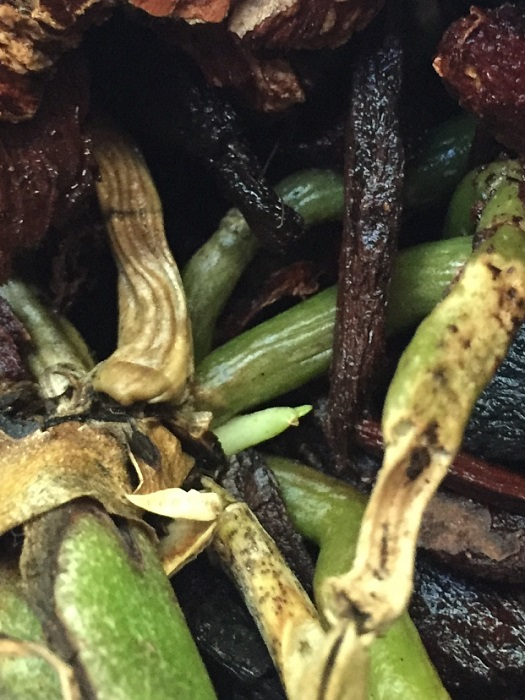 Name:  phal in treatment new growth upload.jpg Views: 345 Size:  139.7 KB