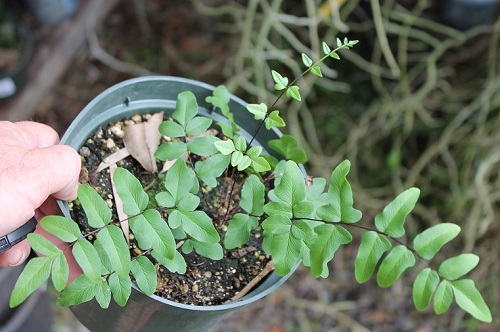 Name:  IMG_4133_maidenhair_fern_20crop_p5.jpg