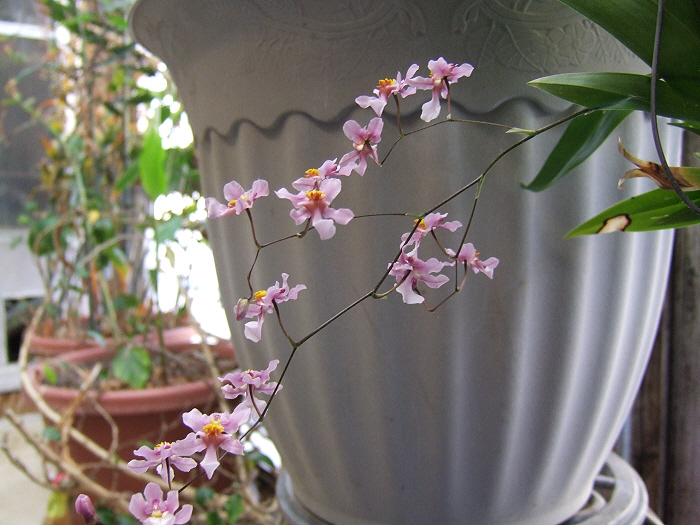 Name:  Oncidiums On The March 018.JPG Views: 692 Size:  267.7 KB